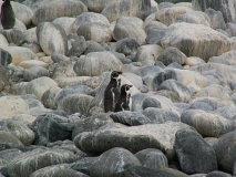 humbold-pinguins1
